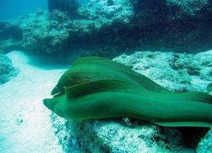 I saw a moray eal when diving in Vanuatu