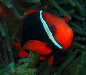 A clown fish I saw when diving in vanuatu