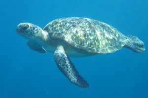 nevilles surprise - hawksbill turtle while diving in Vanuatu