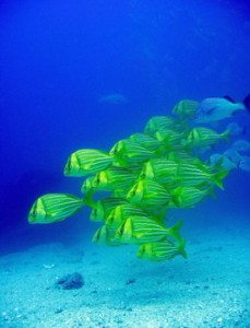 come and see the fish when diving in Vanuatu