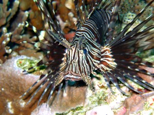 twin bommies - lionfish